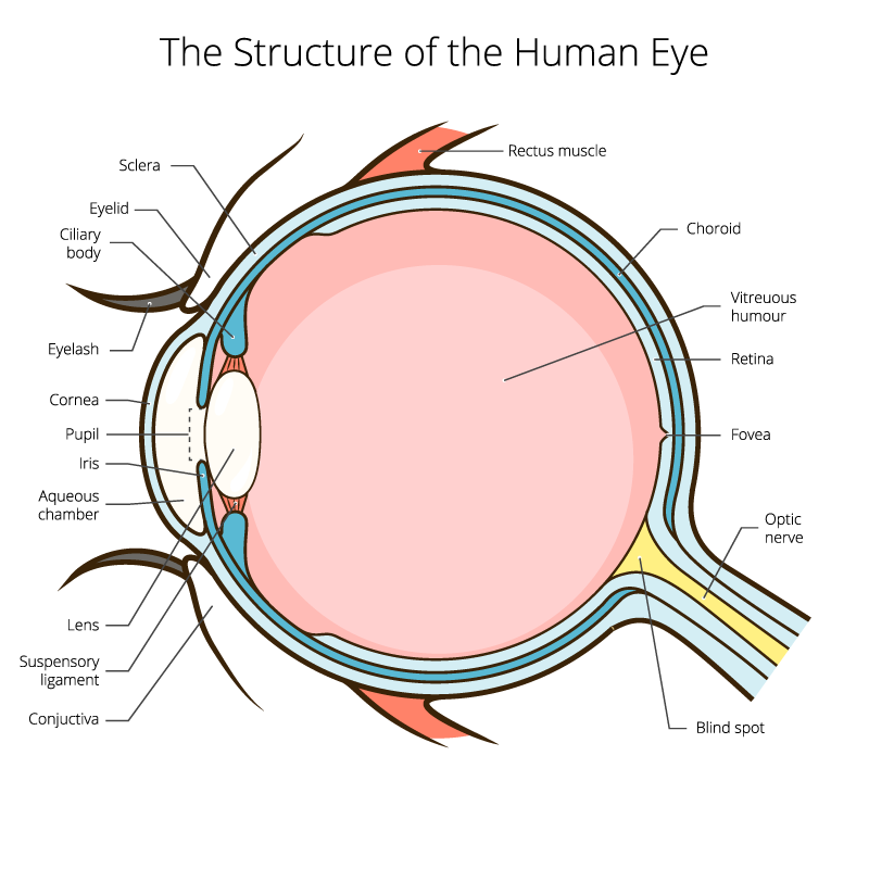 Eye Anatomy Terrace Eye Centre